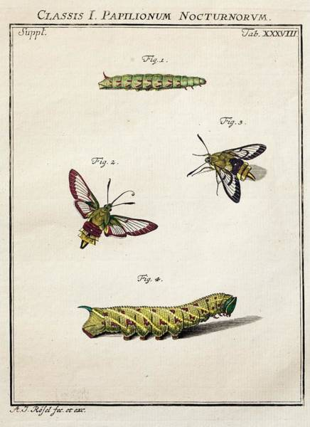 Hemaris Photograph - 1744 Roesel Von Rosenhof Bee Hawk Moth by Paul D Stewart
