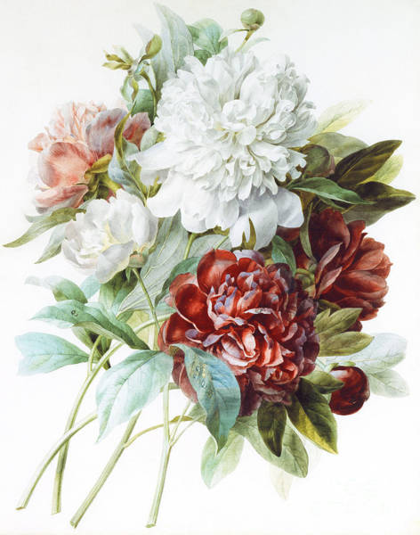 Plant Reproduction Painting - A Bouquet Of Red Pink And White Peonies by Pierre Joseph Redoute