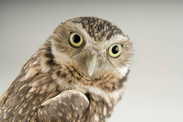 Denver Zoo Photograph - A Burrowing Owl Athene Cunicularia by Joel Sartore