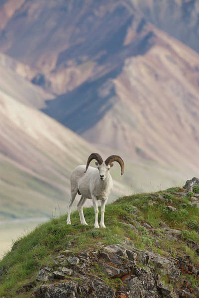 Agile Photograph - A Dall Sheep Ram Stands On Marmot Rock by Hugh Rose