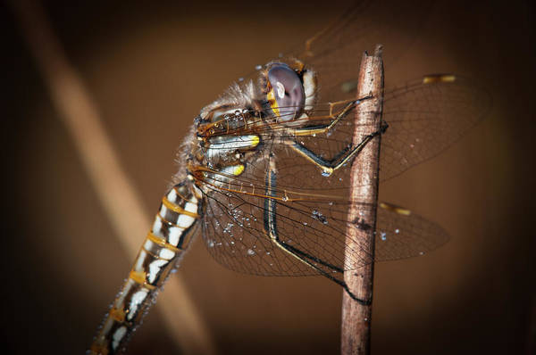 Wall Art - Photograph - A Dragonfly Watches For Prey  Astoria by Robert L. Potts