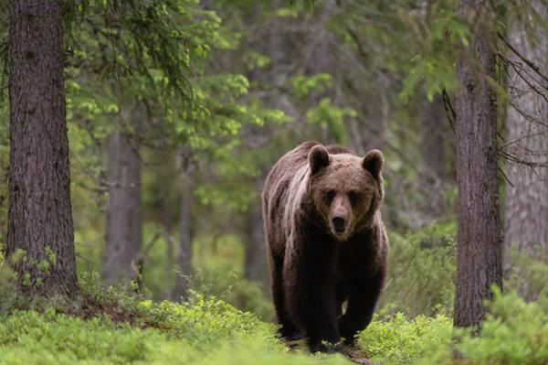 Wall Art - Photograph - A European Brown Bear, Ursus Arctos by Sergio Pitamitz