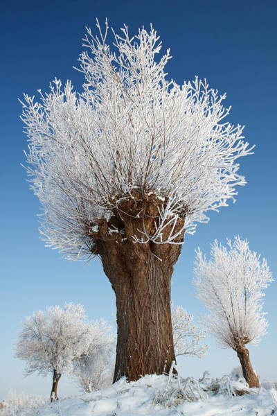 Willow Photograph - A Frosted Willow On A Very Cold And Bright Winter Day by Roeselien Raimond