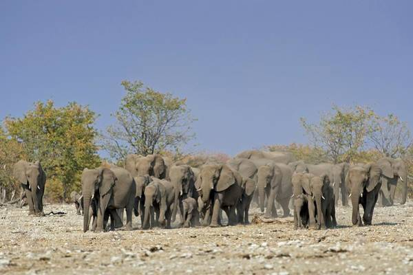 African Elephant Photograph - A Herd Of African Elephants by Tony Camacho