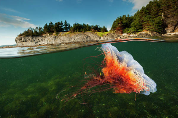 Lion's Mane Jellyfish Photograph - A Lions Mane Jellyfish Drifts In Bonne by David Doubilet