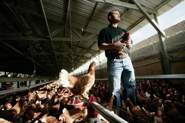 Low Battery Photograph - A Man Holds A Chicken At A Chicken Egg by Robert Benson