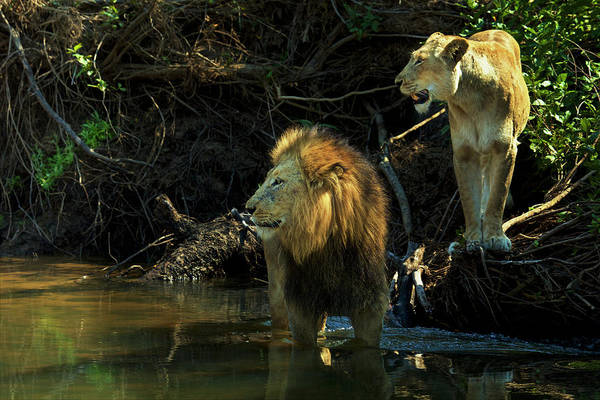 Lion In Winter Photograph - A Mating Pair Of Lions At The Rivers by Steve Winter