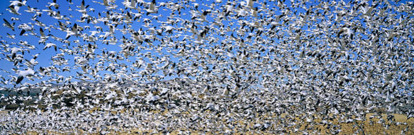 Wall Art - Photograph - A Panoramic Of Thousands Of Migrating by Panoramic Images