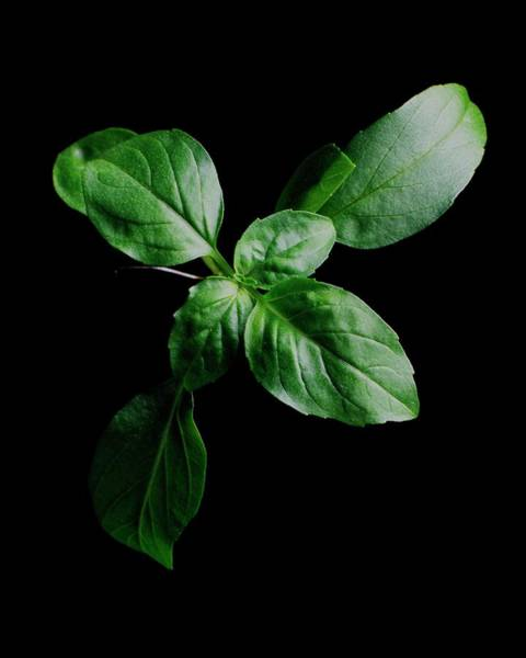 Green Vegetable Photograph - A Sprig Of Basil by Romulo Yanes