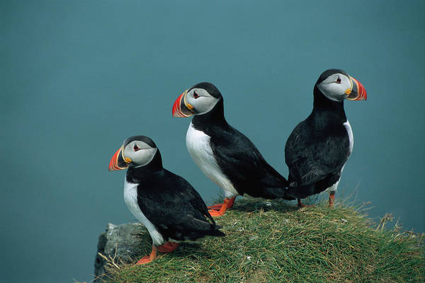 Wall Art - Photograph - A Trio Of Atlantic Puffins Perch by Sisse Brimberg