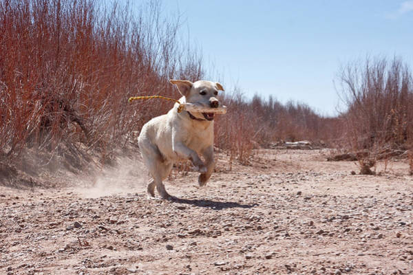 Dog Training Photograph - A Yellow Labrador Retriever Running by Zandria Muench Beraldo