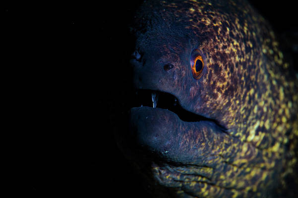Wall Art - Photograph - A Yellow-margined Moray Eel by Ethan Daniels