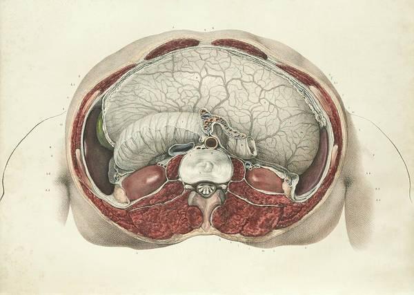 Lumbar Vertebra Photograph - Abdominal Anatomy by Science Photo Library
