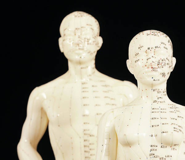 Traditional Chinese Medicine Wall Art - Photograph - Acupuncture Models by Mark Thomas/science Photo Library