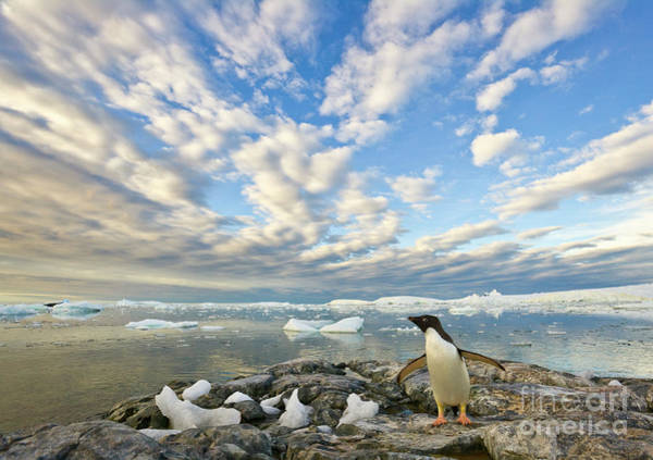 Wall Art - Photograph - Adelie Penguin Flapping Wings by Yva Momatiuk John Eastcott