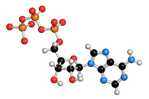 Adenosine Triphosphate Wall Art - Photograph - Adenosine Triphosphate Molecule by Molekuul