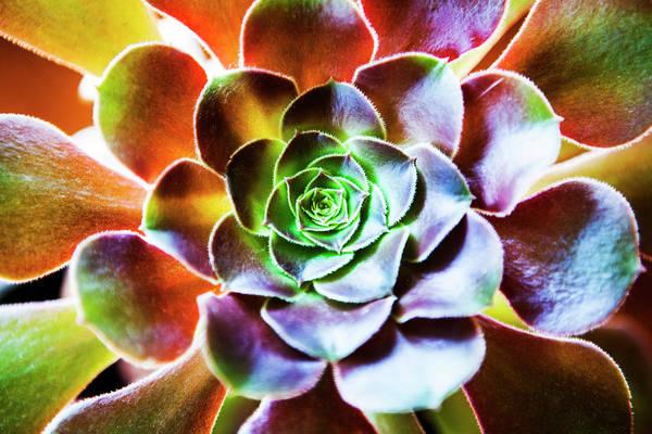 Photograph - Aeonium Arboreum Plant by Renphoto