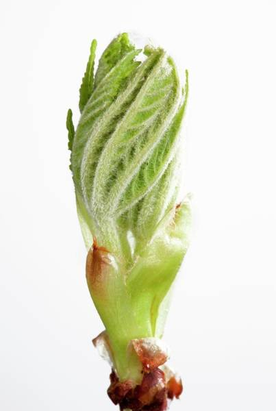 Wall Art - Photograph - Aesculus Hippocastanum Leaf Bud Opening by Pascal Goetgheluck/science Photo Library