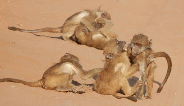 Baboons Photograph - Africa, Botswana, Chobe National Park by Jaynes Gallery