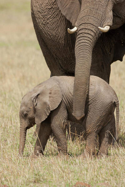 African Elephant Photograph - Africa, Kenya, Maasai Mara Game by Joe and Mary Ann Mcdonald