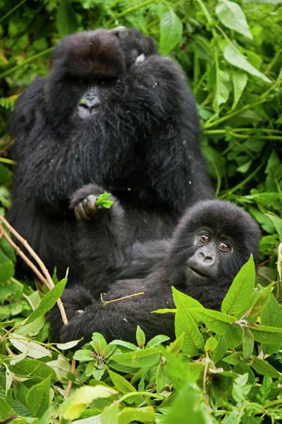 Rwanda Photograph - Africa, Rwanda, Juvenile Mountain by Ralph H. Bendjebar