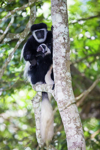 Wall Art - Photograph - Africa Tanzania Black And White Colobus by Ralph H. Bendjebar
