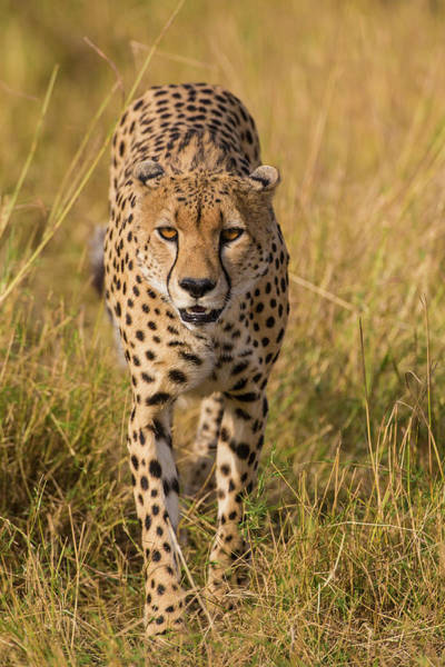 Wall Art - Photograph - Africa Tanzania Cheetah Hunting by Ralph H. Bendjebar