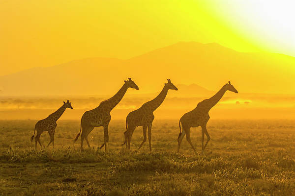Ruminant Photograph - Africa, Tanzania, Serengeti by Charles Sleicher
