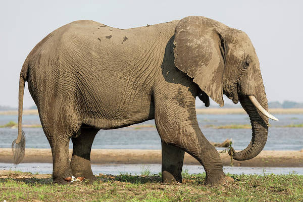 African Elephant Photograph - Africa, Zambia Elephant Next To Zambezi by Jaynes Gallery