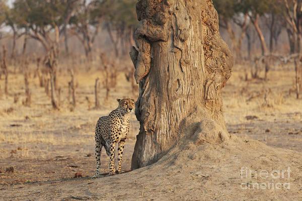 Colgate Wall Art - Photograph - Africa, Zimbabwe, Hwange National Park, On Safari, Jaguar By Tree by Christopher Colgate