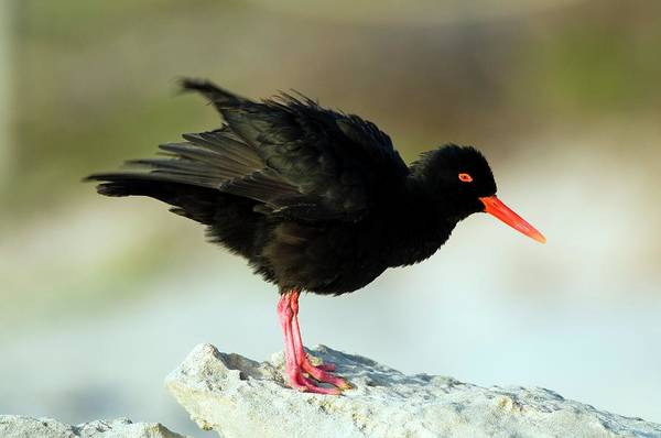 Wall Art - Photograph - African Black Oystercatcher by Peter Chadwick/science Photo Library