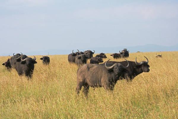 Mount Kenya Photograph - African Buffalo (syncerus Caffer by Keren Su