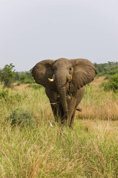 African Elephant Photograph - African Bush Elephant (loxodonta by Martin Zwick