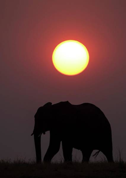African Bush Elephant Photograph - African Elephant At Sunset by Tony Camacho/science Photo Library