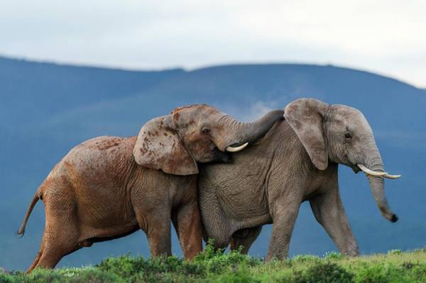 African Elephant Photograph - African Elephant Bulls Fighting by Peter Chadwick
