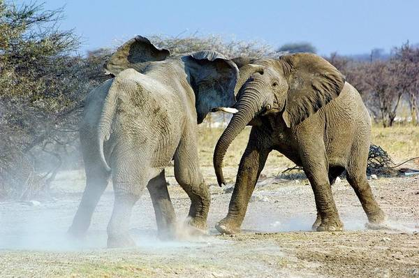 Wall Art - Photograph - African Elephant Bulls Fighting by Tony Camacho/science Photo Library