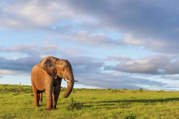 African Elephant Photograph - African Elephant In Open Grasslands by Peter Chadwick