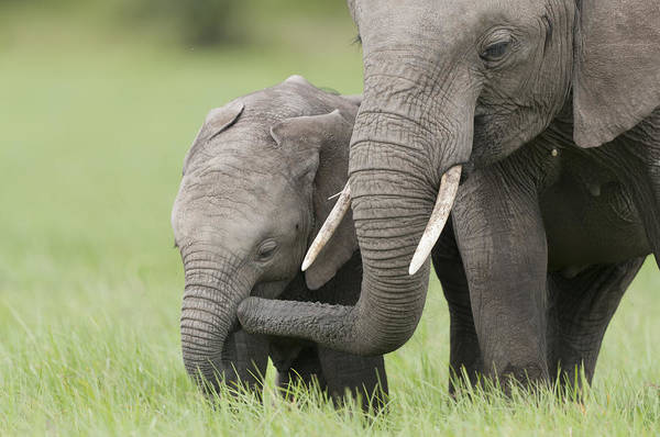 Photograph - African Elephant Juvenile And Calf Kenya by Tui De Roy