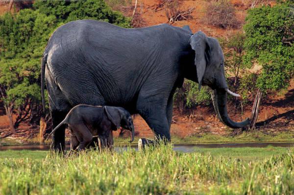 African Elephant Photograph - African Elephant (loxodonta Africana by Miva Stock