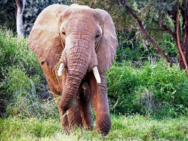 Photograph - African Elephant by Tony Murtagh