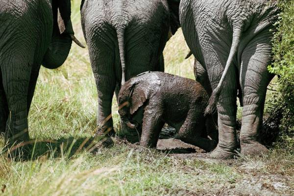 Prophylactic Photograph - African Elephants And Calf by Dr P. Marazzi/science Photo Library