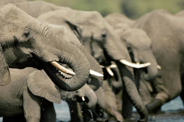 Africana Photograph - African Elephants Drinking by Dr P. Marazzi/science Photo Library