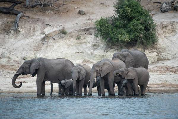 African Bush Elephant Photograph - African Elephants On The Chobe River Bank by Tony Camacho/science Photo Library