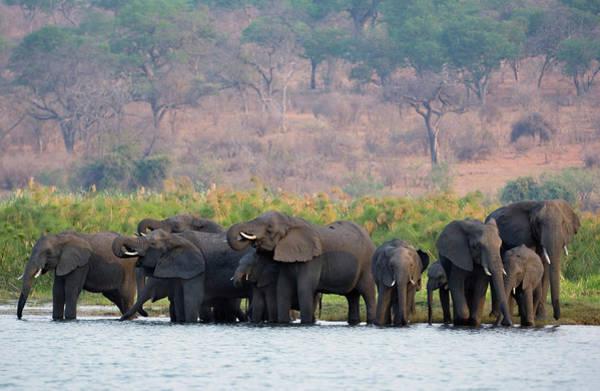 Africana Photograph - African Elephants by Tony Camacho/science Photo Library