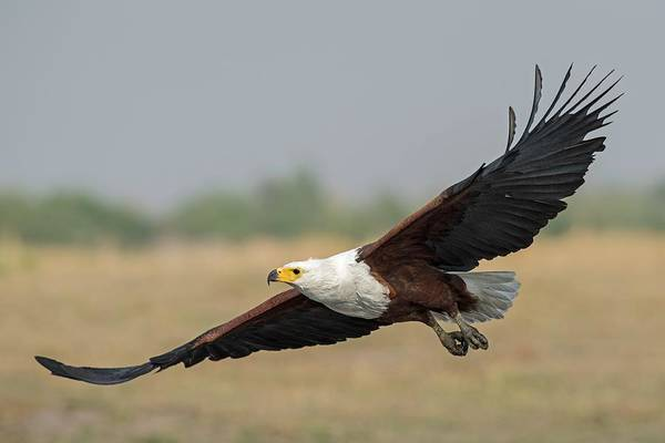 Wall Art - Photograph - African Fish Eagle by Tony Camacho/science Photo Library