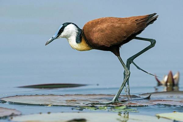 Wall Art - Photograph - African Jacana Foraging For Insects by Tony Camacho/science Photo Library
