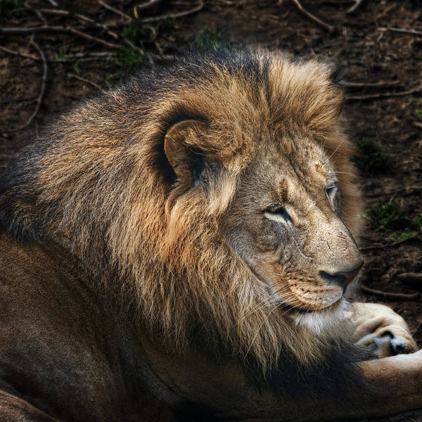 Male Photograph - African Lion by Tom Mc Nemar