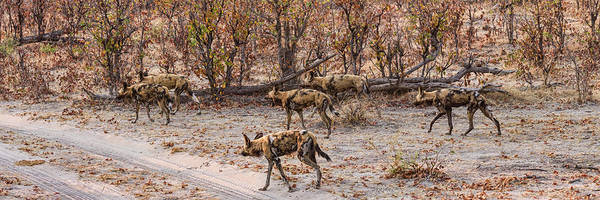 Okavango Delta Photograph - African Wild Dogs Lycaon Pictus by Panoramic Images