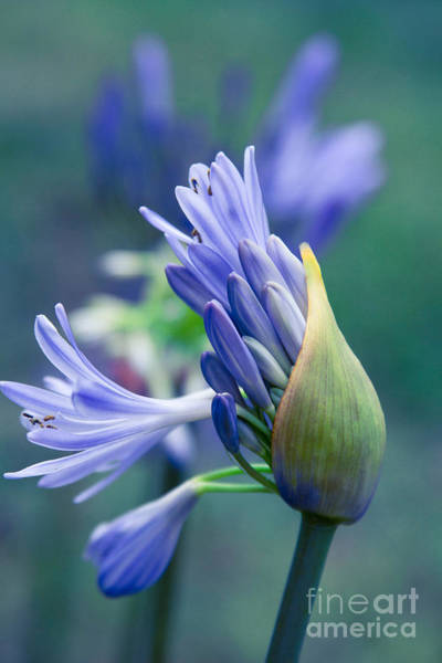 Agapanthus Photograph - Agapanthus Orientalis - Lily Of The Nile by Sharon Mau