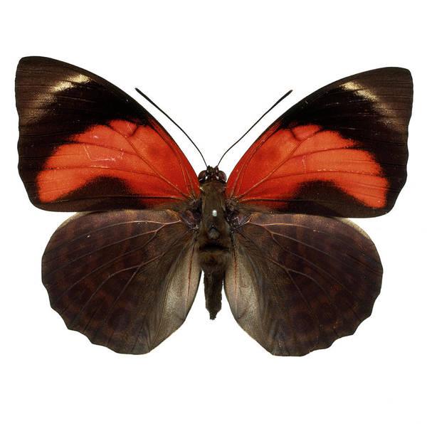 Invertebrata Wall Art - Photograph - Agrias Claudina by Natural History Museum, London